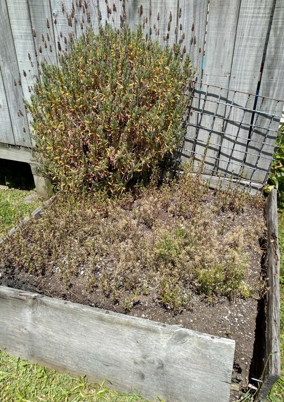 This bed is so dry and the soil depleted. We've cut the lavender back again as we did last year when it made a comeback.