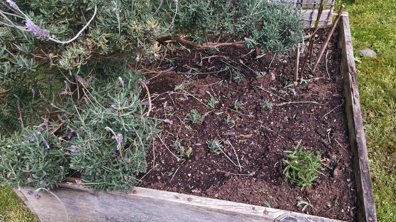 A very dry raised bed with an unpruned lavender