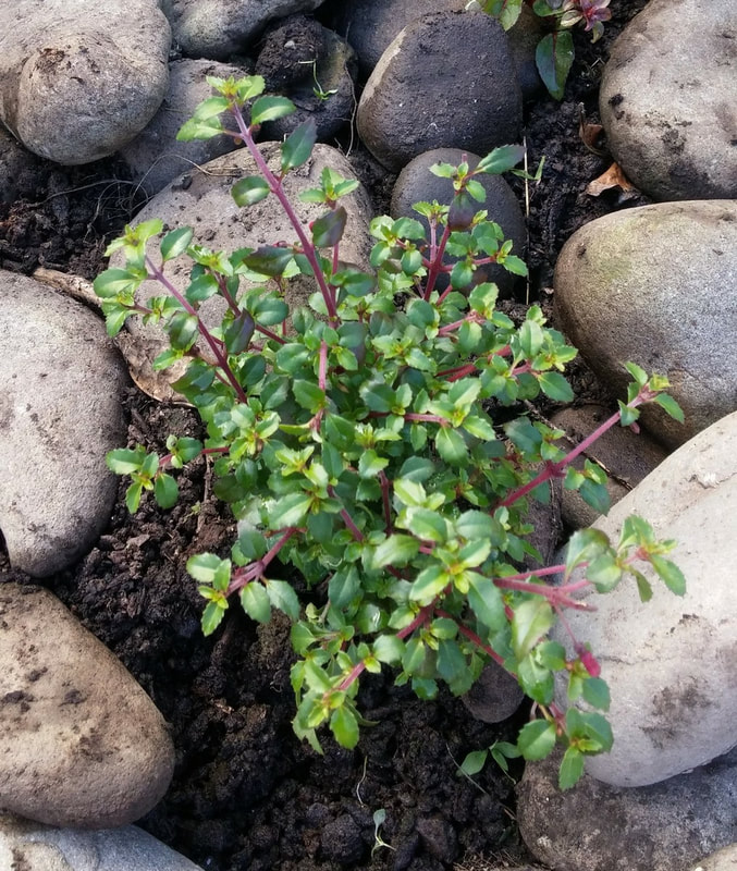 Just planted this cute fucshia
