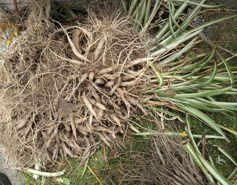 Don't be deceived by the leaves on top. Underneath there is twice as much bulk as roots and tubers
