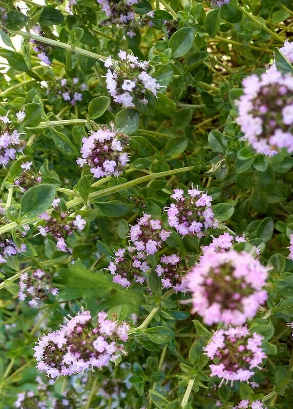 Thyme in flower is attracting loads of bees