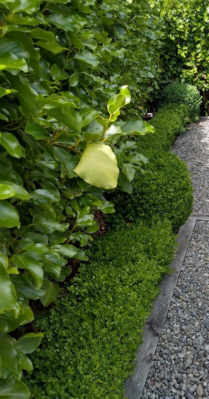 Griselinia hedge with a shorter box (buxus) hedge below.